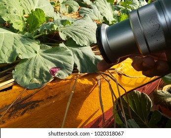 Photographers are taking drops of water on cabbage leaves.