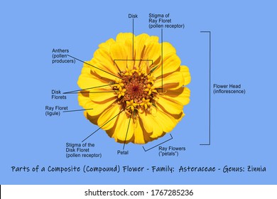 photographic science diagram illustrating a composite yellow zinnia showing the main parts of the flower on a light blue background