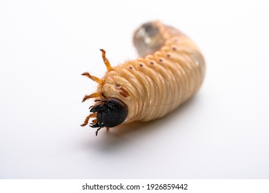 Photographing beetle larvae on a white background.