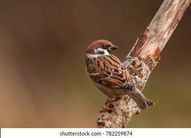 photographing songbirds in winter near feeders - Eurasian tree sparrow