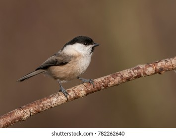 photographing songbirds in winter near feeders - Parus