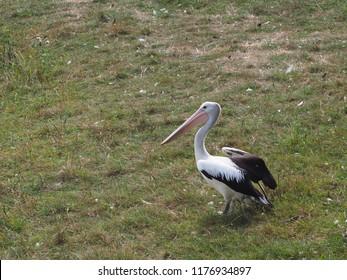 Photography of a Australian pelican (scientific name:  Pelecanus conspicillatus)