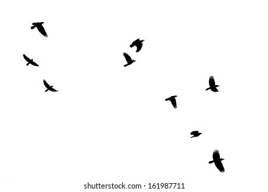 The photography of flying crows, which were isolated / Flock of crows