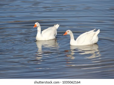 photography of geese on the Tagus River peace, calm, serenity, harmony, fullness, well-being, nature, natural, contemplate, meditate, breathe, grow, happiness, tranquility, fulfillment, integration,