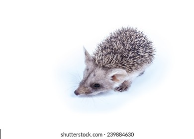 Photography little prickly hedgehog isolated on white background