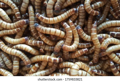 Photography of mealworm for bird feed is high protein
