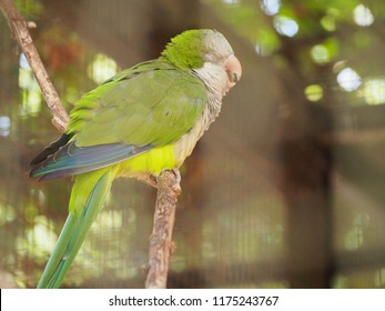 Photography of a monk parakeet (scientific name: Myiopsitta monachus), also known as the Quaker parrot