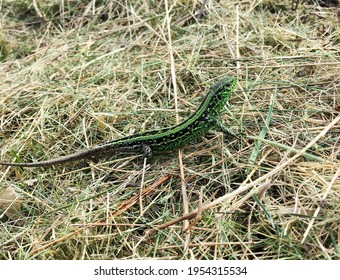 Photography on theme beautiful green scales to body lizard sitting in dry grass. Photo consisting of wild animal lizard with green scales, long tail. Green lizard from many scales at natural wildlife.