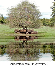 photography with reflection in the water of latxa sheep under a sloe,in the forest of Urbasa Natural Park, Navarra, Spain,peace, harmony, tranquility, serenity, meditation, transcendence, relaxation,