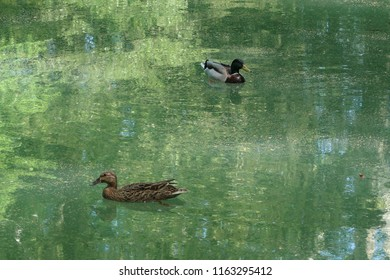 Photography of some ducks in a pond located in a public park (called 'Parc des Etang' in French) near the city of Grenoble, France