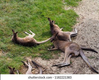 Photography of some red-necked wallaby, also known as Bennett's wallaby or red kangaroo
