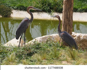 Photography that is showing a goliath heron (scientific name: Ardea goliath)