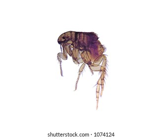 Photomicrograph of the common flea (Ctenocephalides), a carrier of disease. 14MP camera and microscope. Isolated.