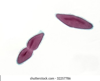 Photomicrograph of Paramecium