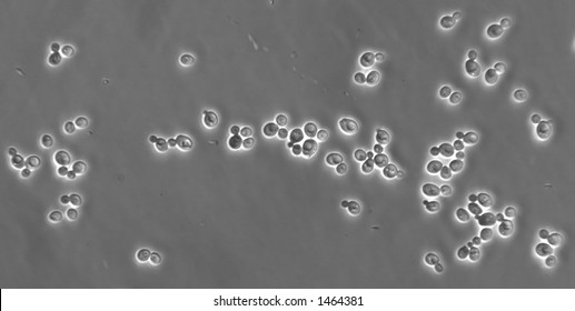Photomicrograph of the yeast form of the fungal pathogen Candida albicans. Taken with a phase-contrast microscope and Normarski optics.