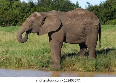 Photos of Africa, African Elephant