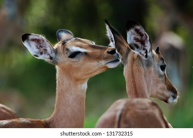 Photos of Africa, Impala say in other impala's ear