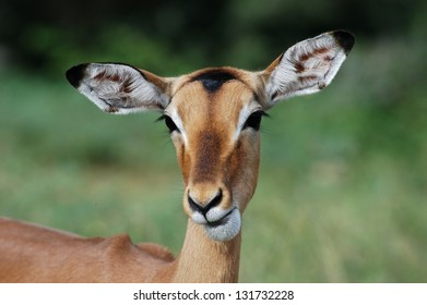 Photos of Africa,Female Impala head