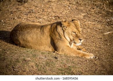 Photos of Africa,Female Lion