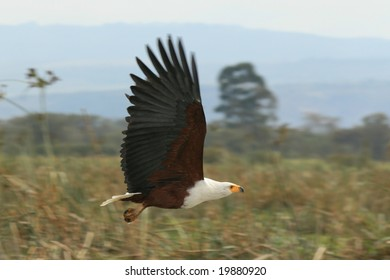 Photos of an african fish eagle by a lake