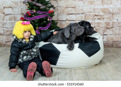 Photos Mastino breed dogs Neapolitana and baby little girl at the Christmas tree.