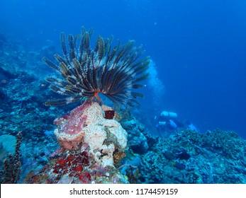 Photos taken while scuba  diving in Rabaul and Kokopo feather star.