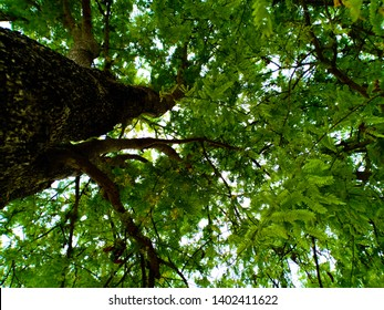 Photos of trees that have been taken from the bottom view up against the top of the tree Can see beautiful branches Is a green tree Can not grow young leaves