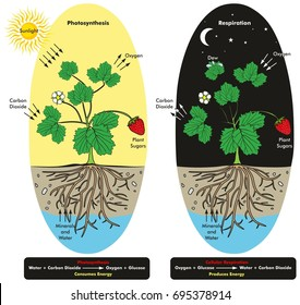 Quation stock images royalty free images vectors shutterstock photosynthesis and cellular respiration process of plant during day and night time infographic diagram showing comparison ccuart Image collections