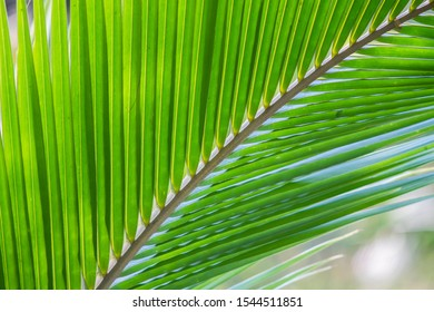 Photosynthesis of coconut leaves