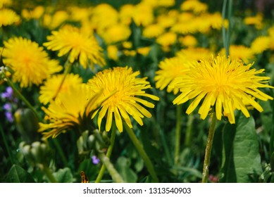 photowall-paper from yellow flowers of a dandelion, macro