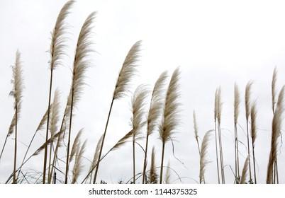 Phragmites grass in the garden