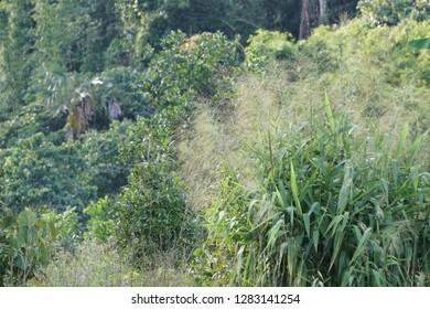 Phragmites karka or Tall reed, Khagra reed