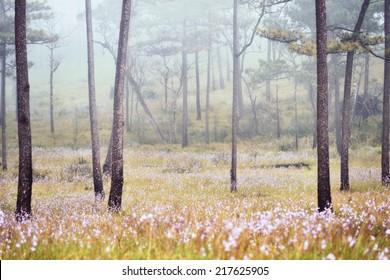 Phu SOI DAO National Park at Uttaradit province, Thailand/Misty forest on flower field