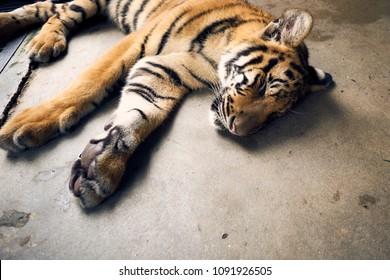 Phuket Island, Phuket Province / Thailand - 07.11.2016: Young Tiger