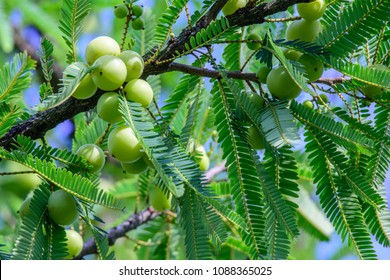 Phyllanthus emblica (Emblic myrablan, Malacca tree, Indian gooseberry, Amla, Amalaka) ; A density leaves & round fruits, Yellowish green, hanging on high tree. The abundant output spread over branches