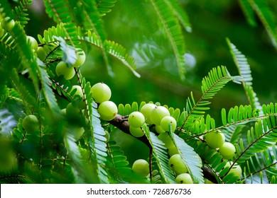 Phyllanthus emblica (Emblic myrablan, Malacca tree, Indian gooseberry, Amla, Amalaka) : An appearance colorful of round hard fruit, Yellowish green. Showing fruits density & abundance of green leaves.