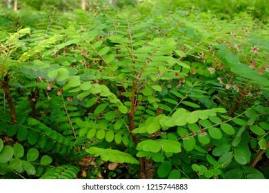 Phyllanthus puncher tree