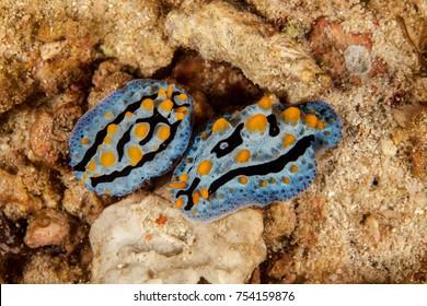 Phyllidia, sea slug, a dorid nudibranch