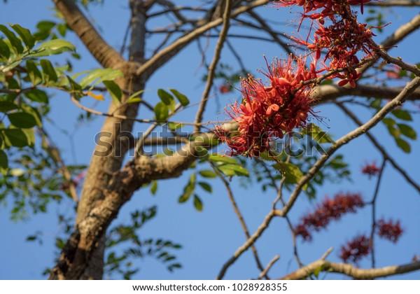 Phyllocarpus Septentrionalis Jd Monkey Flower Tree Stock Photo