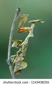 Phyllocrania paradoxa, common name ghost mantis, is a small species of mantis from Africa remarkable for its leaf-like body. It is one of the three species in the genus Phyllocrania.
