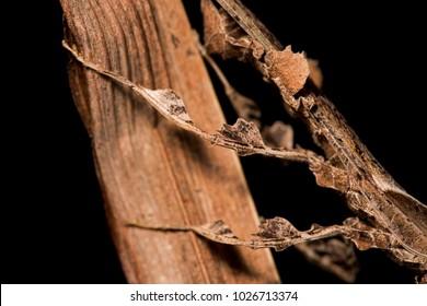 Phyllocrania paradoxa (Ghost mantis) male