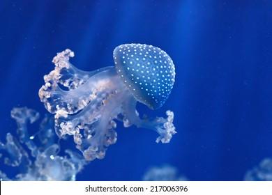 phyllorhiza punctata jellyfish floats in deep blue water