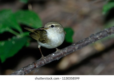 Phylloscopus trochiloides. The Greenish Warbler in nature. Russia, the Ryazan region (Ryazanskaya oblast), the Pronsky District, Denisovo.