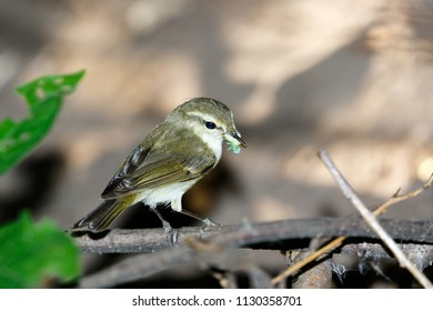 Phylloscopus trochiloides. The Greenish Warbler in nature. Russia, the Ryazan region (Ryazanskaya oblast), the Pronsky District, Denisovo.