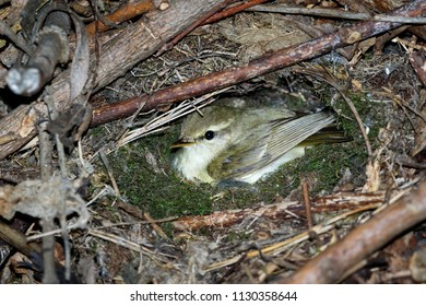 Phylloscopus trochiloides. The nest of the Greenish Warbler in nature. Russia, the Ryazan region (Ryazanskaya oblast), the Pronsky District, Denisovo.