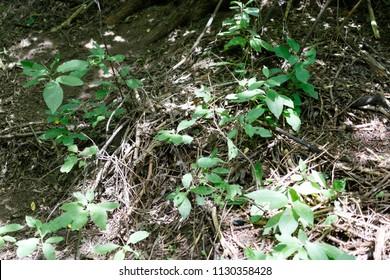 Phylloscopus trochiloides. Nest Habitat of Greenish Warbler. Landscape.