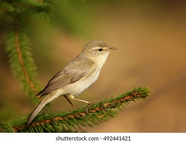 Phylloscopus trochilus, Willow Warbler perched on spruce twig. Singing migratory songbird,  close up, wlidlife photo. Czech republic. Europe.