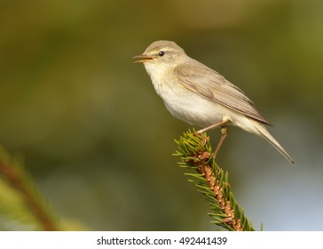 Phylloscopus trochilus, Willow Warbler perched on spruce twig. Isolated, migratory songbird,  close up,  wlidlife photo. Czech republic. Europe.