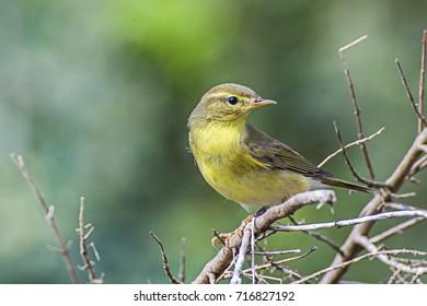 Phylloscopus trochilus or Willow Warbler, yellow bird on tree
