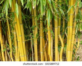 Phyllostachys aureosulcata, yellow groove bamboo. Poacea family